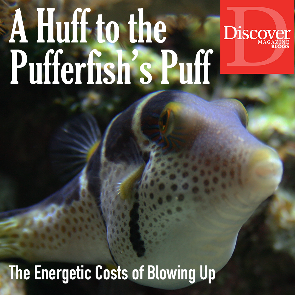 Pufferfish puff for Discover Magazine Blogs